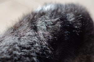 A close-up of a dog's hair. Wavy and smooth, and fuzzy and warm.